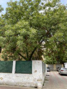 नीम का पेड़