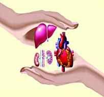 Vital organs of the body