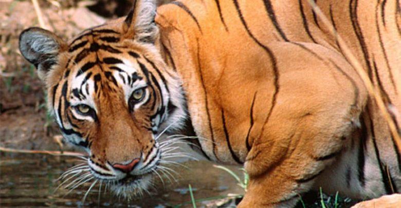 भारत में बाघों की संख्या बढ़ी है