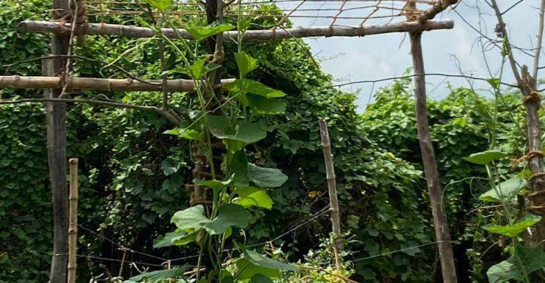 मचान पर चढ़ती धारीदार लौकी राम तरोई