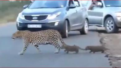 Photo of सड़क पार करते हुए अचानक रुक गया तेंदुए का बच्चा तो माँ ने किया ये काम